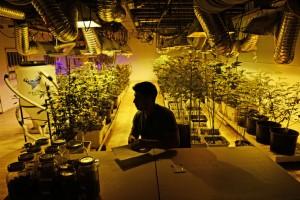 how to grow marijuana legally