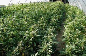 Seminars for cannabis